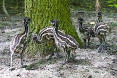 Polluelos del emú Imágenes de archivo libres de regalías