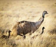 Polluelos del Emu Imagen de archivo
