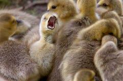 Polluelos del ganso de Canadá imagen de archivo libre de regalías