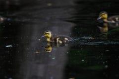Polluelos del pato silvestre Fotografía de archivo