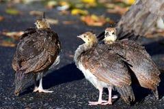 Polluelos del pavo real Fotos de archivo libres de regalías