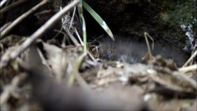 Polluelos del petirrojo en jerarquía en Irlanda almacen de video