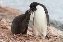 Polluelos del pingüino de Adelie que alimenta cerca de la jerarquía Imagenes de archivo