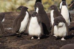 Polluelos del pingüino de Rockhopper Fotografía de archivo