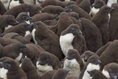 Polluelos del pingüino de Rockhopper - Falkland Islands Foto de archivo libre de regalías