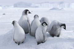Polluelos del pingüino de emperador Imagen de archivo libre de regalías