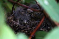 Polluelos del tordo en la sombra de Bush en la primavera imagenes de archivo
