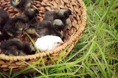 Polluelos en cesta Fotos de archivo libres de regalías