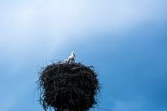 Polluelos en la jerarquía de una cigüeña blanca que se atusa sus plumas después de la tormenta, Grodno, Bielorrusia imagenes de archivo