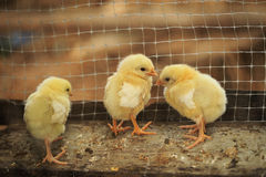 Polluelos en una granja de pollo fotos de archivo