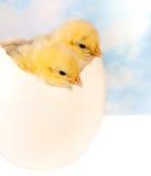 Polluelos gemelos en huevo grande Imagenes de archivo