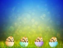 Polluelos lindos del bebé de Pascua Foto de archivo libre de regalías