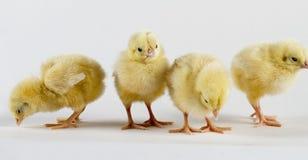 Polluelos nuevamente llevados de la gallina foto de archivo libre de regalías
