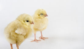Polluelos nuevamente llevados de la gallina imagen de archivo libre de regalías