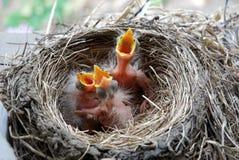Polluelos nuevamente tramados del petirrojo Fotografía de archivo libre de regalías