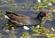 Polluelos oscuros de la polla de agua Imágenes de archivo libres de regalías
