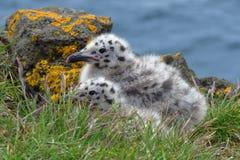 Polluelos que se hacen querer de la gaviota de espalda negra, Islandia foto de archivo