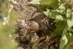 Polluelos viejos del pato silvestre del día con la mamá femenina del pato silvestre en arbustos Foto de archivo