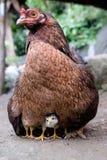 Polluelos y pollo fotografía de archivo