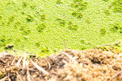 Polluted pond with algal scum. Royalty Free Stock Image