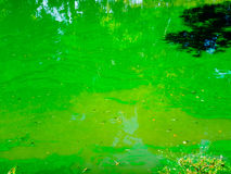 Polluted pond with scum and algae Royalty Free Stock Photos