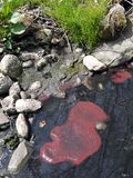 Polluted water: red algae stock images