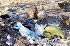 Polluting habitats. Garbage outside in Zhaodong China and ducks picking through and eating the trash in Heilongjiang province Royalty Free Stock Photography