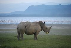 Pollution in Paradise - Rhino Royalty Free Stock Images