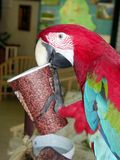 Polly Want A Java. Parrot on a coffee break stock photo