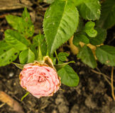Pollyanna Lily Royaltyfria Bilder