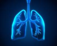 Polmone e bronchi Fotografia Stock Libera da Diritti