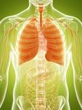 Polmone umano Immagini Stock