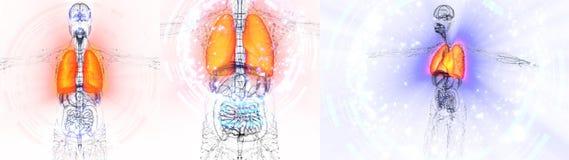 Polmone umano Fotografia Stock Libera da Diritti