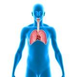 polmoni Immagine Stock