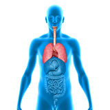 polmoni Immagine Stock Libera da Diritti