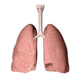 Polmoni Fotografie Stock Libere da Diritti