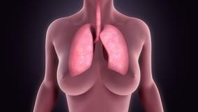 polmoni Fotografia Stock Libera da Diritti