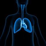 Polmoni con il corpo Immagine Stock
