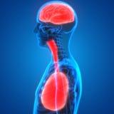 Polmoni e Brain Anatomy degli organi umani Immagini Stock