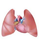 Polmoni e cuore umani Fotografia Stock Libera da Diritti