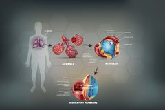 Polmoni ed alveoli illustrazione vettoriale