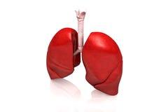 Polmoni umani Fotografie Stock