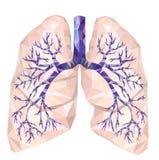 Polmoni umani con la trachea, bronco, bronchi, carina, in poli basso illustrazione vettoriale
