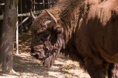 Polnischer Bison Lizenzfreies Stockfoto