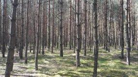 Polnischer Kiefernwald Lizenzfreie Stockfotos
