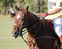 Polo bei schwarzem Diamond Polo Club Lizenzfreie Stockfotos
