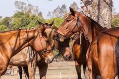 Polo Horse Ponies Immagini Stock Libere da Diritti
