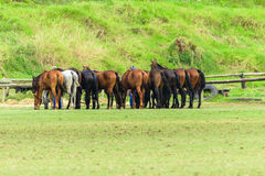 Polo Horse Ponies Fotografia Stock
