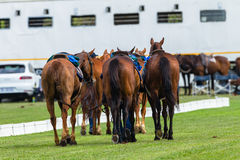Polo Horse Ponies Photographie stock