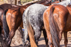 Polo Horse Ponies. Polo horses ponies in paddock Stock Photography